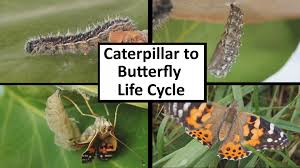 caterpillar to butterfly cycle