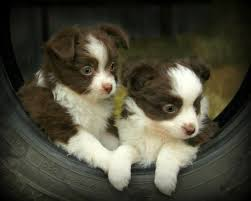 australian shepherd puppies california listing four purebred australian shepherd pups m is published