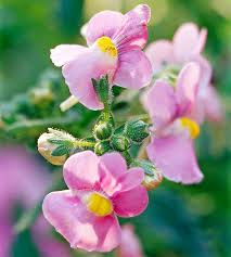 Fragrant Shade Plants - 179 best horticulture fragrant plants for zones 2 3 u0026 4 images