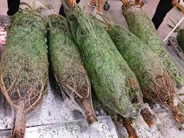where you can buy christmas trees in los angeles