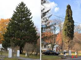 norway spruce from gardiner to be the rockefeller center christmas
