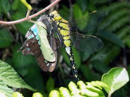dragonfly catches butterfly