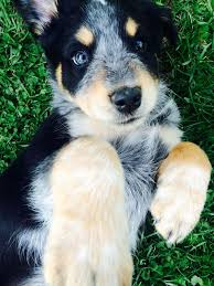 australian shepherd lab mix for sale everything you need to know about australian shepherd mix
