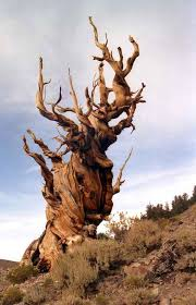 great basin bristlecone pine the oldest tree in ages 5062