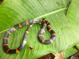 halloween snake snakes we have found u2013 costa rica herping adventures