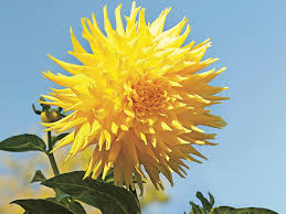 7 things you didn u0027t know about dahlias southern living