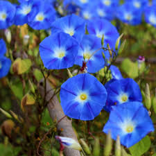 Morning Glory Climbing Plant - morning glory seeds on sale now by the packet or in bulk