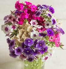 Phlox Flower Buy Phlox Flower Seeds