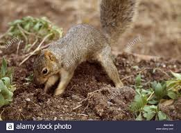 squirrel digging stock photos u0026 squirrel digging stock images alamy