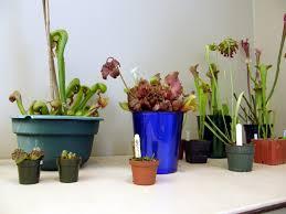 native plants houston carnivorous plants in texas