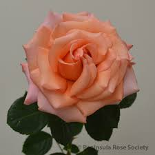 2015 annual rose show results horticulture peninsula rose society
