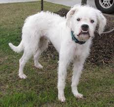 boxer dog rescue meet vegas male boxer poodle unknown type mixed lone