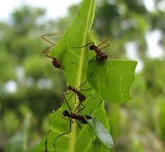 mystery solved ants protect young from infection by cocooning
