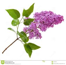 purple lilac branch isolated on white stock photo image 41207398