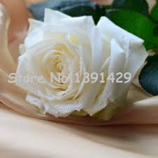 white roses for sale popular seed for sale buy cheap seed for sale lots from