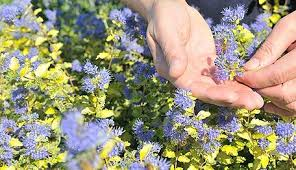 Long Blooming Annual Flowers - drought tolerant perennials