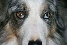 australian shepherd eyesight bc museum eye color