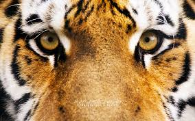 tiger hd wallpapers group 93