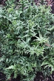 54 best garden ferns images on pinterest ferns deer resistant