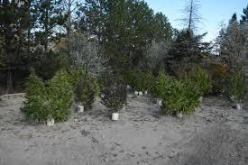 police bust on former christmas tree farm nets 100k in marijuana