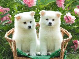 american eskimo dog meme wallpapers of cute dogs wallpaper hd