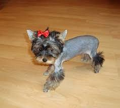 teacup yorkie haircuts pictures yorkie haircuts 100 yorkshire terrier hairstyles pictures