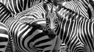 zebra pattern free download zebra tag wallpapers stripes africa zebra pattern water animal hd