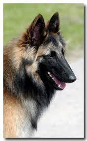 belgian sheepdog tattoo belgian dogs add photos belgian shepherd tervuren with his