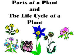 Life Of A Flower - parts of a plant plant life cycle teach