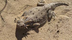 Big Lizard In My Backyard Scientists Find New Lizard Population In L A Neighborhood Kcet