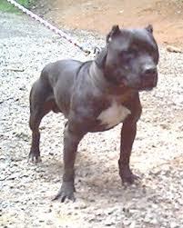 american pitbull terrier kingfish bloodline best of wildside game dog forum