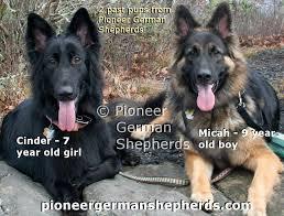 belgian sheepdog german shepherd mix pioneer german shepherds oversized german shepherd puppies from