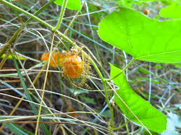 edible native australian plants plant profile bush passionfruit our australia