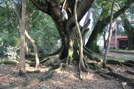 special tree picture of gokarna forest resort kathmandu