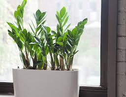 green plants 10 best indoor plants for men gear patrol