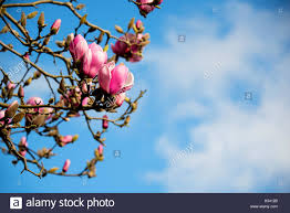 magnolia hybrid stock photos u0026 magnolia hybrid stock images alamy
