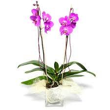 cymbidium orchid cymbidium orchid fleurworld