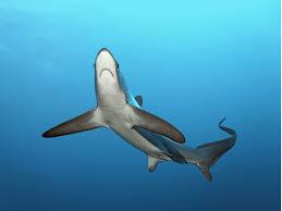 anglers land u0027record breaking u0027 368lb thresher shark off coast of
