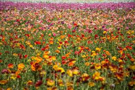 carlsbad flower garden the flower fields carlsbad ca palms to pines