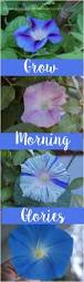 grow morning glories privacy trellis gardens and walls