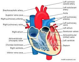 Diagram Heart Anatomy Anatomy Veins Arteries Diagram Human Anatomy Chart