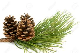 white pine cone branch with pine cone on white background stock photo picture and