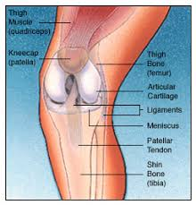 Knees Anatomy Total Knee Replacement Surgery India Cost Total Knee Replacement India