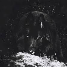 belgian sheepdog wolf mix belgian sheepdog art 5 photograph by wolf shadow photography