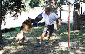 belgian shepherd how to train personal protection dog training tips tricks and special