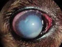 Can Cataracts Lead To Blindness Coping With Cataracts In Our Canine Companions Berkeley Ca Patch