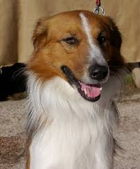 afghan hound collie mix riviera dogs september 2010