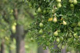 Best Fruit Trees For North Carolina - starting an orchard apples cherries peaches plums and pears