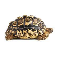 Tortoise Bedding Greek Tortoises And Spur Thighed Tortoises