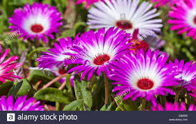 pink and white mesambryanthemum flowers fully open in bright
